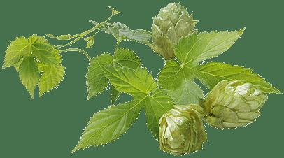 Пивоваренный хмель