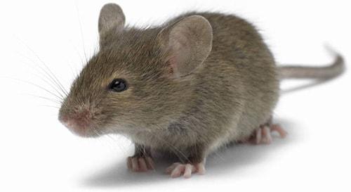 Исследование пива на мышах